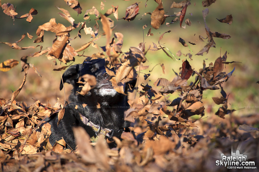 My dog Beau plays in the leaves