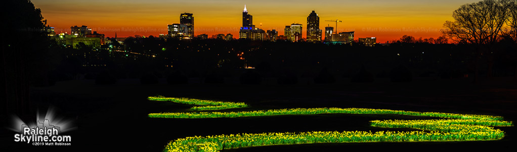 Painting the Raleigh daffodils with light